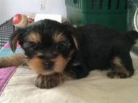 Adorable Female Yorkies One For Mothers Day