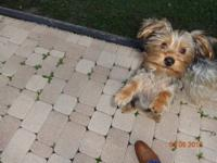 We have a sweet male Yorkshire Terrier pup for sale, he