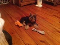 Black & tan male Yorky pup, short legs, cobby