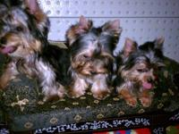 I am a reputable breeder of only Yorkshire Terriers. I