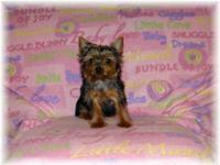 AKC reg. Yorkshire Terrier puppies for sale, one male