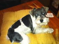 Schnauzer puppy, salt/pepper parti male, he is 31/2 mo,