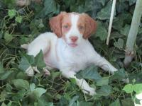 Delightful 9 week female Brittany pup looking for a