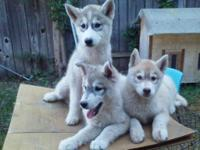 We have 3 beautiful Siberian Husky puppies available.