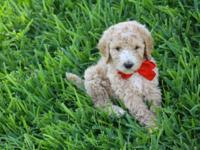 I have 6 adorable curly standard poodle puppies! Cream,