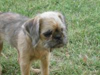 I'm called Brownie Boo and I'm a beige Brussels Griffon