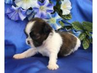We have male and female SHIH TZU puppies available to