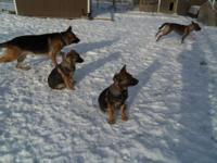 AKC German Shepherd puppies colors are dark sables with