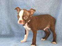 We have 2 red Boston Terrier guy puppies who are