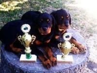 We just had litter of AKC Rottweiler puppies. They were