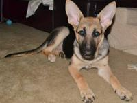 AKC registered 7 month old female German shepherd puppy