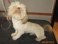 "AKC registered Gold/Cream shih tzu baby boy ""Lancelot"""