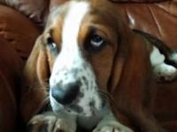 We regretfully must re-home our nine month old Basset