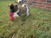 Meet TYLER. He is an AKC registered Akita male. He has