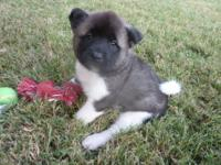 Meet BANDIT. He is an AKC registered Akita male. He has