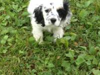AKC Registered American Cocker Spaniel Puppies. They
