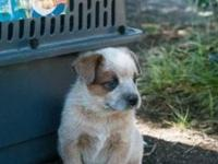 I have 4 male Australian Cattle Dog puppies offered to