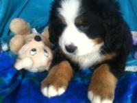 Exceptional Bernese Mountain Dog Puppies. Moms and