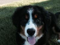 http://bernesemountaindog3.wix.com/bernesemountaindog3