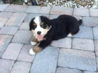Outstanding male Bernese Mountain Dog Puppy available.