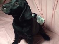 Black Female Labrador Retriever AKC Registered -