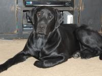 Tucker is a great looking AKC Black Labrador Retriever