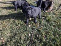 AKC registered black pointing Lab puppies, champion