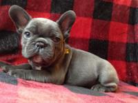 Now taking deposits on these gorgeous Blue Frenchies.