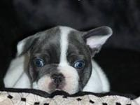 We have an adorable AKC registered blue pied male