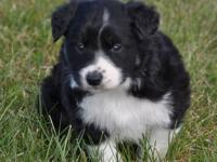My Border Collie female had puppies on November 16th.