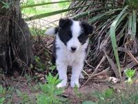 I have 2 gorgeous AKC registered Border Collie puppies