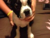 AKC registered male Boston Terrier. He is 11 weeks old.