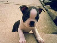 Boston Terrier AKC signed up male. $650. 7 weeks old,