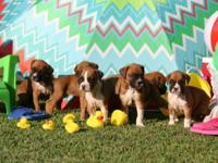 Gorgeous AKC Registered Fawn Boxer puppies 6 WEEKS OLD