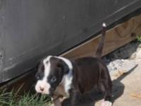 AKC Registered Boxer pups available. Mother is a flashy