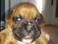 Beautiful AKC registered Boxer Puppies. All fawn, 5