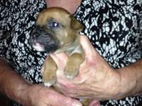 AKC registered boxer young puppies w / pedigree. Still
