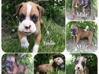 AKC Registered Boxer Puppies 1 Flashy Brindle Male