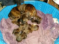 AKC registered Purebred Boxer Puppies $650.00 +