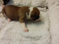 AKC registered boxer puppies. Girl1 - Three in photos.
