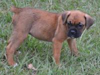 One precious Female Boxer Puppy for sale. This little
