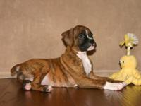 Quincy is a classic brindle male, was born July 15th