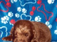 AKC REGISTERED BRONZE NEWFOUNDLAND PUPPIES BORN OCTOBER