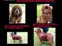 AKC REGISTERED BRONZE NEWFOUNDLAND PUPPIES DUE NOVEMBER