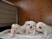 AKC Registered English Bulldog puppies born 8/4/15,