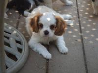 AKC Registered Cavalier King Charles Puppies born June
