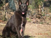 AKC Registered Champion Bloodline German Shepherd
