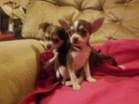 We have 3 females and 1 male Chihuahua puppies for