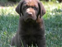 2 AKC Registered Chocolate Labrador Retriever Pups Male