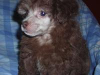 AKC Chocolate Toy Poodle Male Puppy for Sale. He was